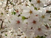 藤高前の桜です。