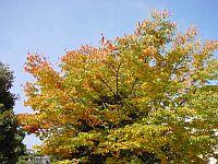 校内の木々も紅葉します。