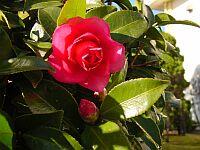 この時期、中庭にはツバキがきれいに咲きます。